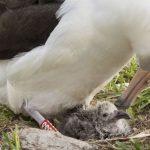 World's Oldest Known Wild Bird Hatches Chick on Midway Atoll