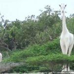 Cazadores furtivos matan a una jirafa blanca y su cría, sólo queda una en el mundo